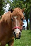 Cavallino capo sul pascolo Fotografia Stock