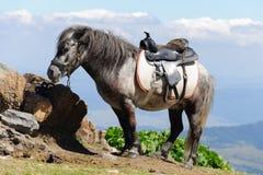 Cavallino con la sella Immagine Stock Libera da Diritti
