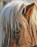 Cavallino del cavallo Immagini Stock