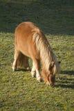Cavallino del cavallo nell'azienda agricola Immagini Stock