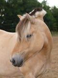 Cavallino del fiordo Fotografia Stock