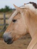 Cavallino del fiordo Immagini Stock Libere da Diritti
