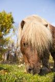 Cavallino del ritratto che mangia erba Fotografie Stock Libere da Diritti