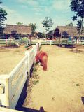 Cavallino dell'azienda agricola fotografie stock