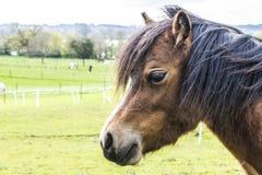 Cavallino della montagna di Lingua gallese Fotografia Stock Libera da Diritti