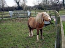 Cavallino 3 della montagna di Lingua gallese - piccolo ed amichevole Immagini Stock
