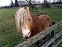 Cavallino 2 della montagna di Lingua gallese - vedivi Fotografie Stock Libere da Diritti