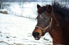 Cavallino della neve Immagine Stock