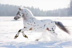 Cavallino di Appaloosa Fotografie Stock