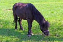 Cavallino di Brown che pasce Immagine Stock Libera da Diritti