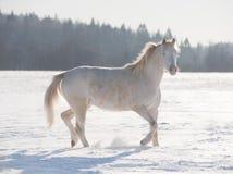 Cavallino di Cremello lingua gallese Immagini Stock