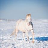 Cavallino di Cremello lingua gallese Fotografia Stock