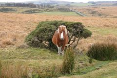 Cavallino di Dartmoor con una vista dell'attracco immagini stock