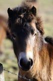 Cavallino di Exmoor Immagini Stock