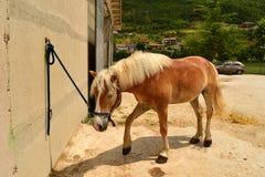 Cavallino di Haflinger Fotografia Stock Libera da Diritti