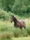 Cavallino di lingua gallese Immagini Stock Libere da Diritti