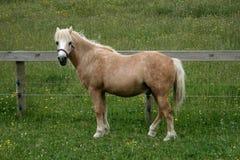 Cavallino di lingua gallese Fotografie Stock