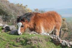 Cavallino di lingua gallese Fotografia Stock Libera da Diritti