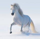Cavallino di lingua gallese bianco galoppante Immagini Stock