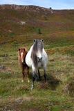 Cavallino di lingua gallese selvaggio Immagini Stock Libere da Diritti