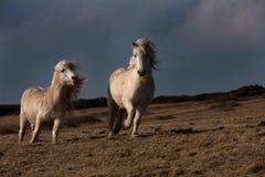 Cavallino di lingua gallese selvaggio Fotografia Stock