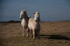 Cavallino di lingua gallese selvaggio Fotografia Stock Libera da Diritti