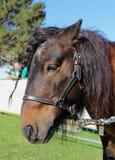 Cavallino di Shetland Fotografie Stock