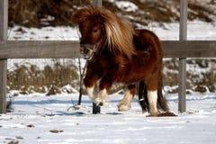 Cavallino di Shetland fotografia stock libera da diritti