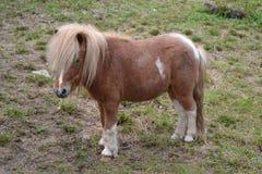 Cavallino di Shetland Fotografie Stock Libere da Diritti