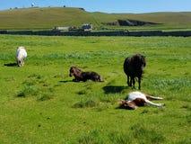 Cavallino di Shetland Immagine Stock Libera da Diritti