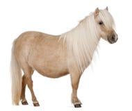 Cavallino di Shetland del Palomino, caballus del Equus Fotografie Stock Libere da Diritti
