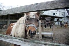 Cavallino dietro la rete fissa Fotografia Stock Libera da Diritti