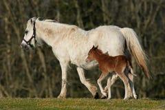Cavallino e Foal Immagini Stock