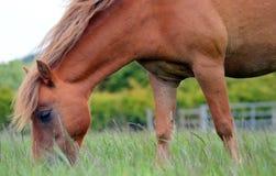 Cavallino Flaxen della criniera della castagna che pasce primo piano Fotografie Stock Libere da Diritti