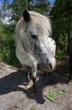 Cavallino macchiato bianco Fotografia Stock Libera da Diritti