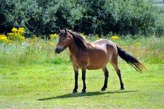 Cavallino nel campo Fotografie Stock Libere da Diritti