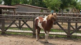 Cavallino nella cattività archivi video