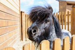 Cavallino nero animale Fotografia Stock Libera da Diritti