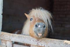 Cavallino peloso - fuoco sull'occhio Fotografie Stock Libere da Diritti