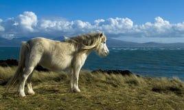 Cavallino selvaggio Immagine Stock Libera da Diritti