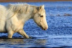 Cavallino selvaggio Fotografia Stock Libera da Diritti