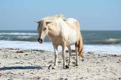 Cavallino selvaggio alla spiaggia del cittadino di Assateague Fotografie Stock Libere da Diritti