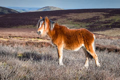 Cavallino selvaggio della montagna in Inghilterra fotografia stock libera da diritti