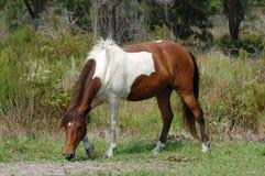 Cavallino selvaggio di Assateague Immagini Stock Libere da Diritti