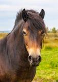 Cavallino selvaggio di Exmoor Fotografia Stock