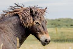 Cavallino selvaggio di Exmoor Britannici Exmoor Fotografia Stock