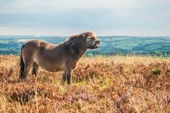 Cavallino selvaggio nel parco nazionale di Exmoor, Inghilterra Immagine Stock
