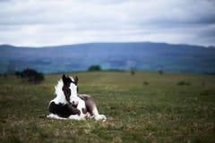 Cavallino selvaggio, su una montagna di lingua gallese immagini stock libere da diritti