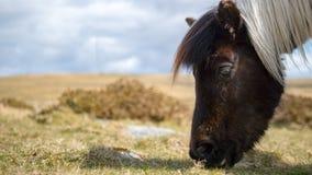 Cavallino su Dartmoor, Inghilterra Fotografie Stock Libere da Diritti