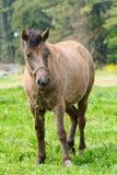 Cavallino in un campo verde Fotografia Stock